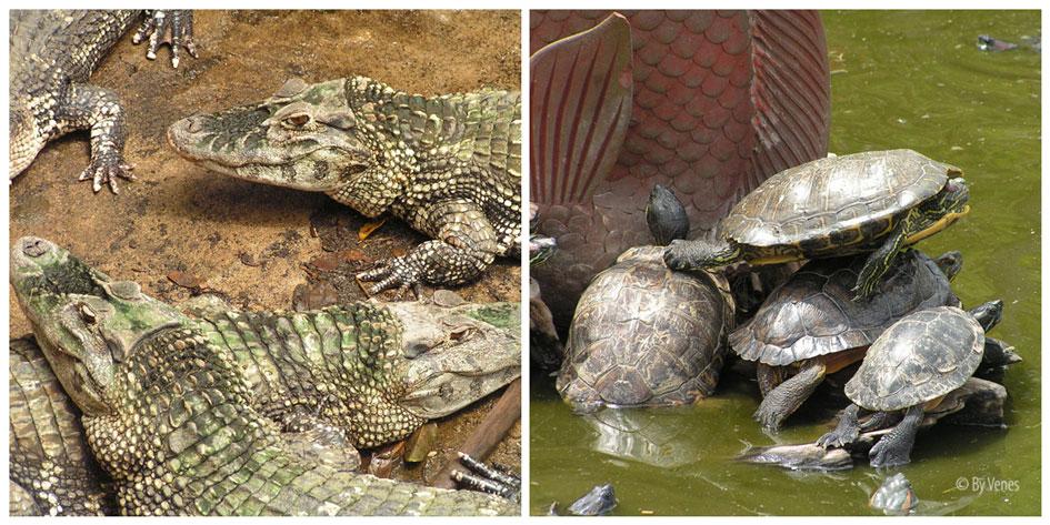 La Ferme aux Crocodiles. Schildpad en krokodil
