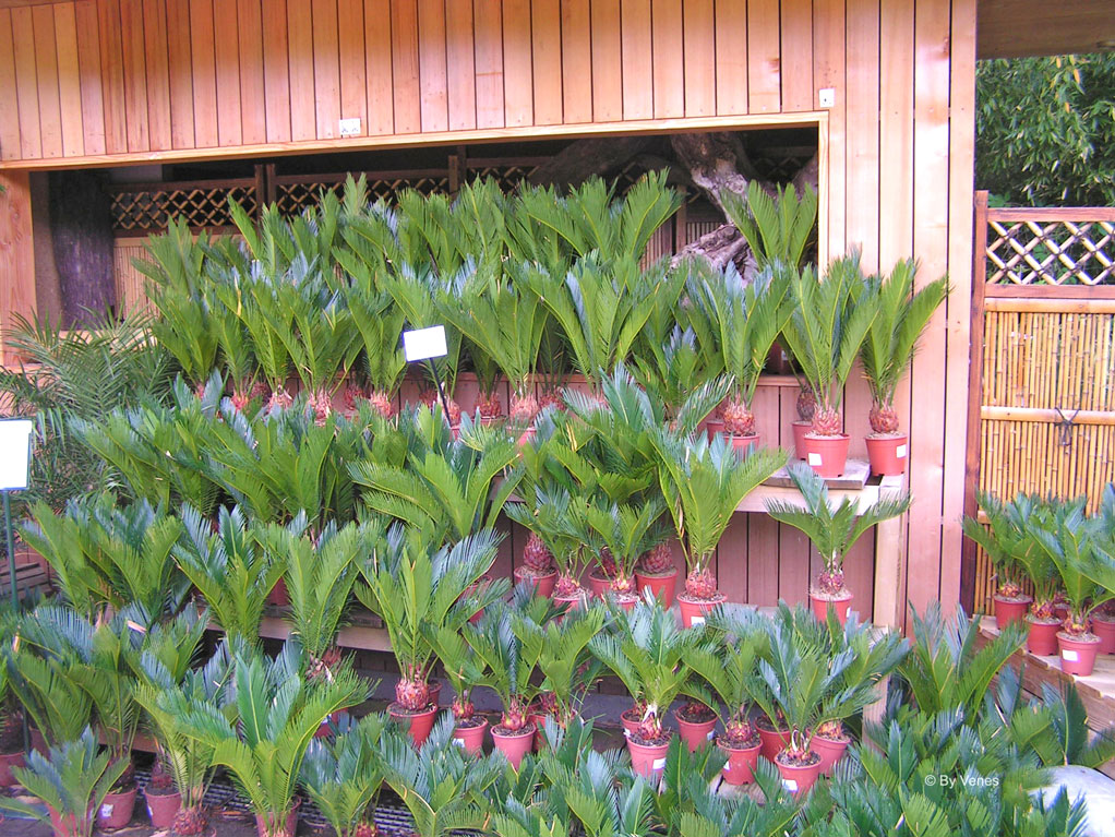 Palmbomen kopen voor in huis of je tuin