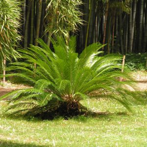 Palmboom Cycadales vredespalm