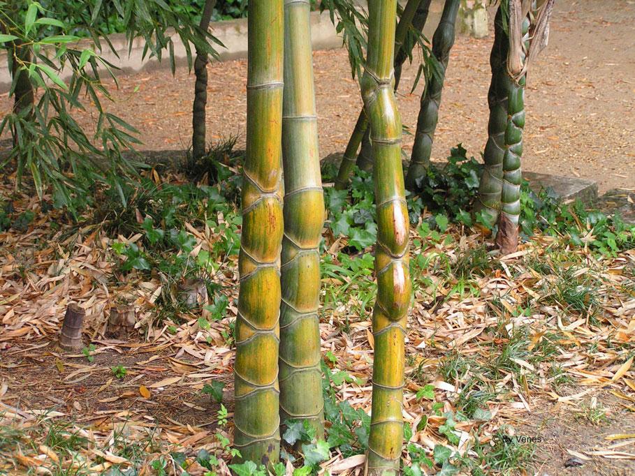 bos van bamboe met Phyllostachys Pubescens Bambouseraie