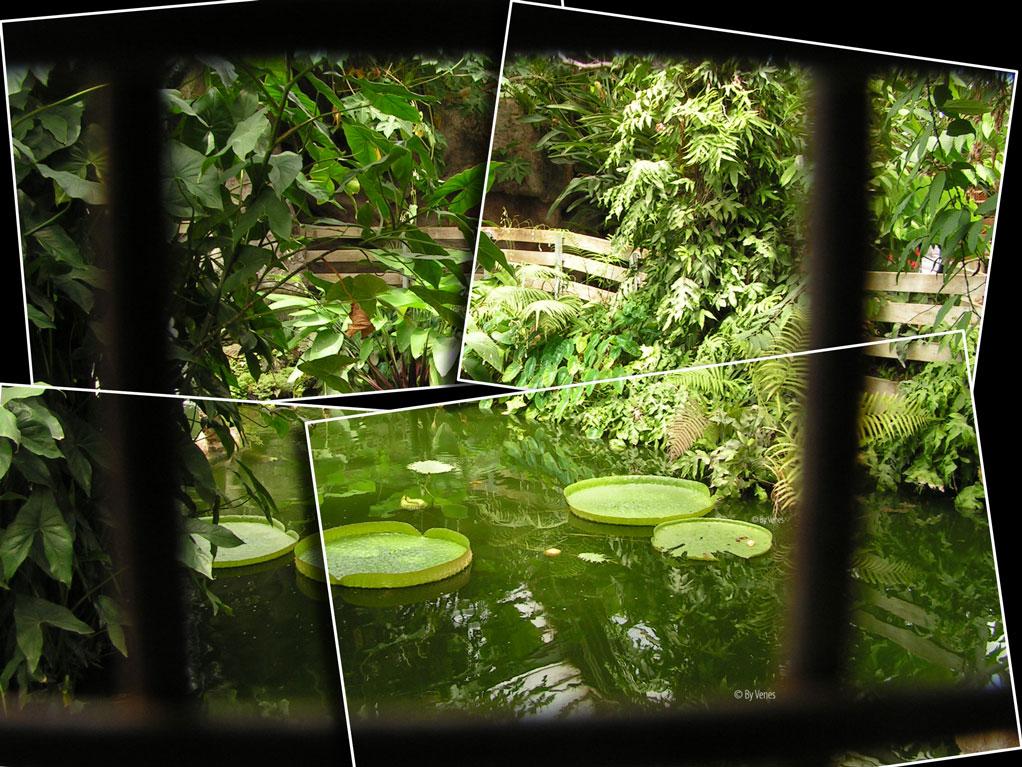 Waterlelie Victoria tropische tuin Botanische tuin en krokodillen