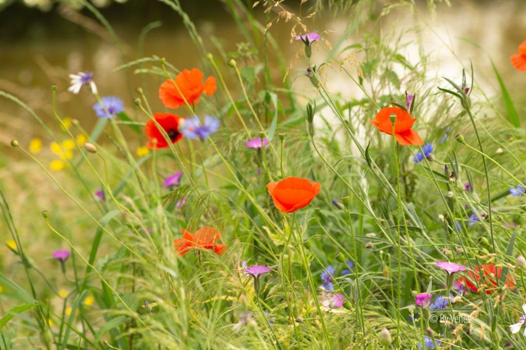 Wilde bloemen geven kleur aan de natuur