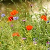 Wilde bloemen geve kleur aan de natuur
